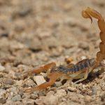 Qué significa soñar con escorpiones o alacranes