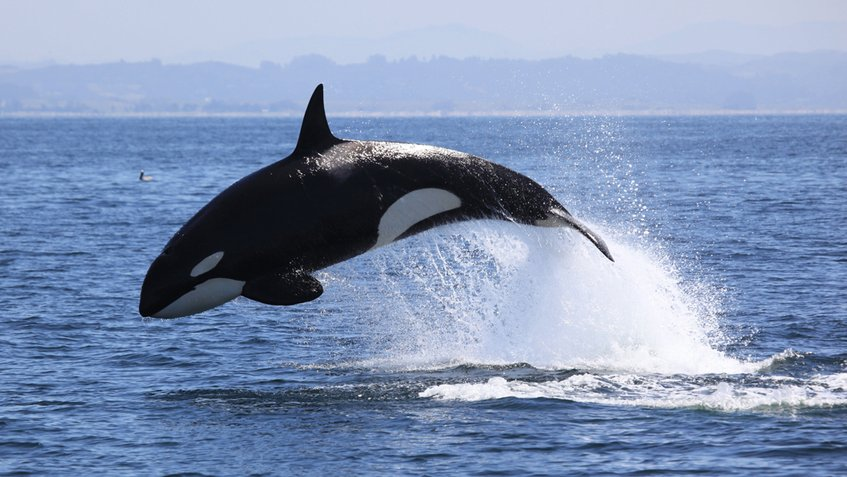 Soñar con ballenas asesinas