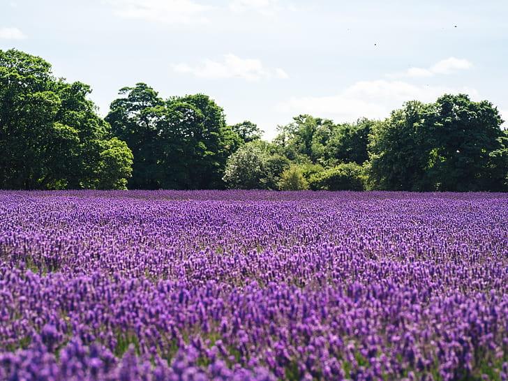 Soñar con campo de flores moradas