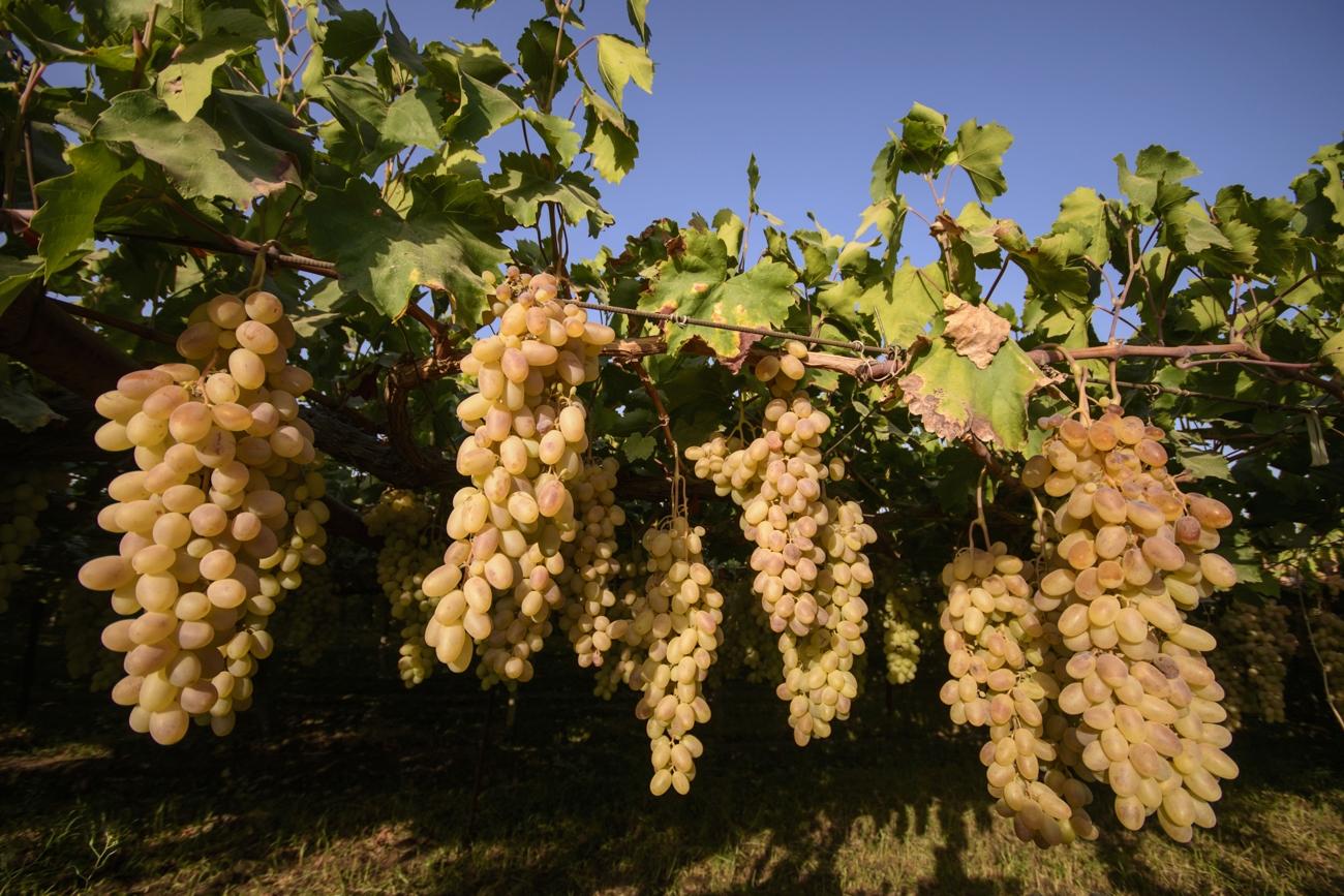 Soñar con racimos de uvas