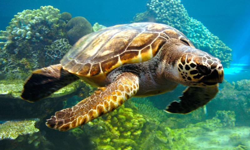 Soñar con tortugas grandes