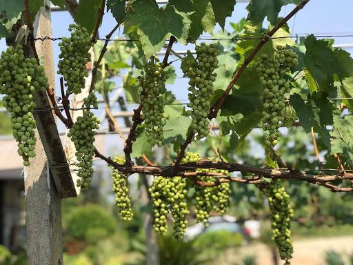 Soñar con uvas brillantes